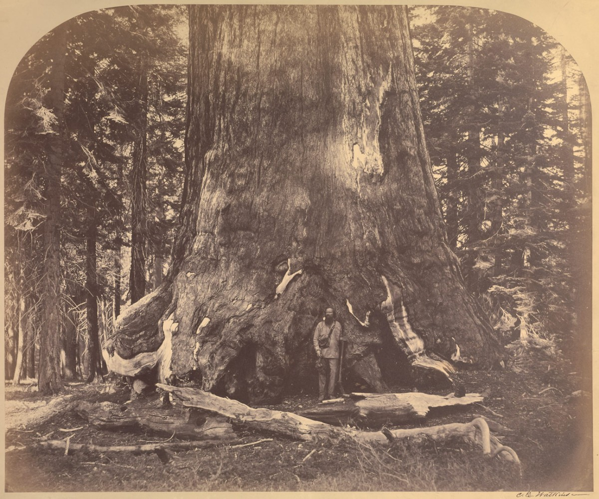 [Section Grizzly Giant, Mariposa Grove]