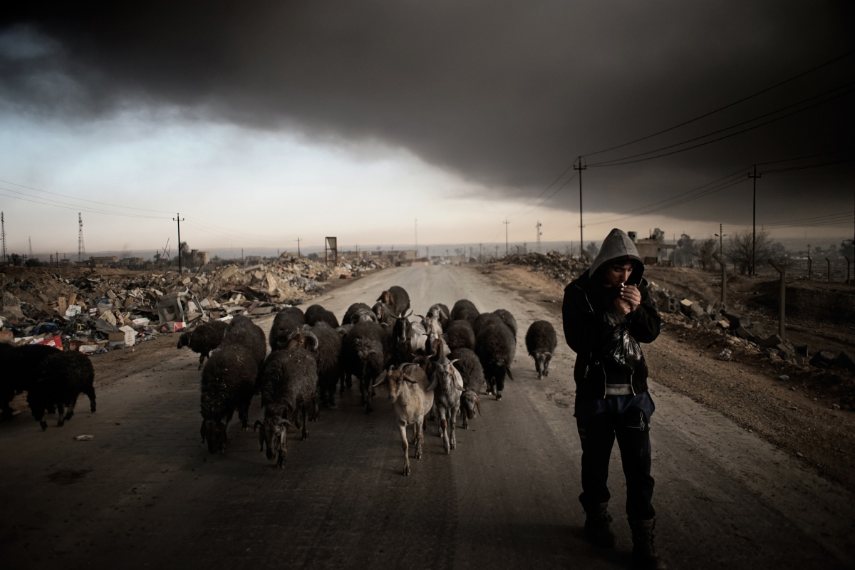 The black sheep in the city Qayyara, south of Mosul. The dense plumes of smoke are emanating from multiple sites about 30 miles (50 km) south of Mosul. The fires were deliberately set by ISIS militants before abandoning the city. The smoke has been persistent over the past three months, blotting out the sun hours before nightfall and creating major health issue for mainly the children in the area.