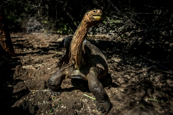 A giant tortoise, 'Diego,' who is more than 100 years old, poses for a portrait while being fed at the Fausto Llerena Tortoise Breeding Center in Puerto Ayora, Santa Cruz Island, Galapagos, on March 2, 2017. He was brought back from the San Diego zoo in the 1970s and spawned more than 800 progeny, largely contributing to the recovery of the Chelonoidis hoodensis species—now some 1,600 strong on their native island of Espanola.