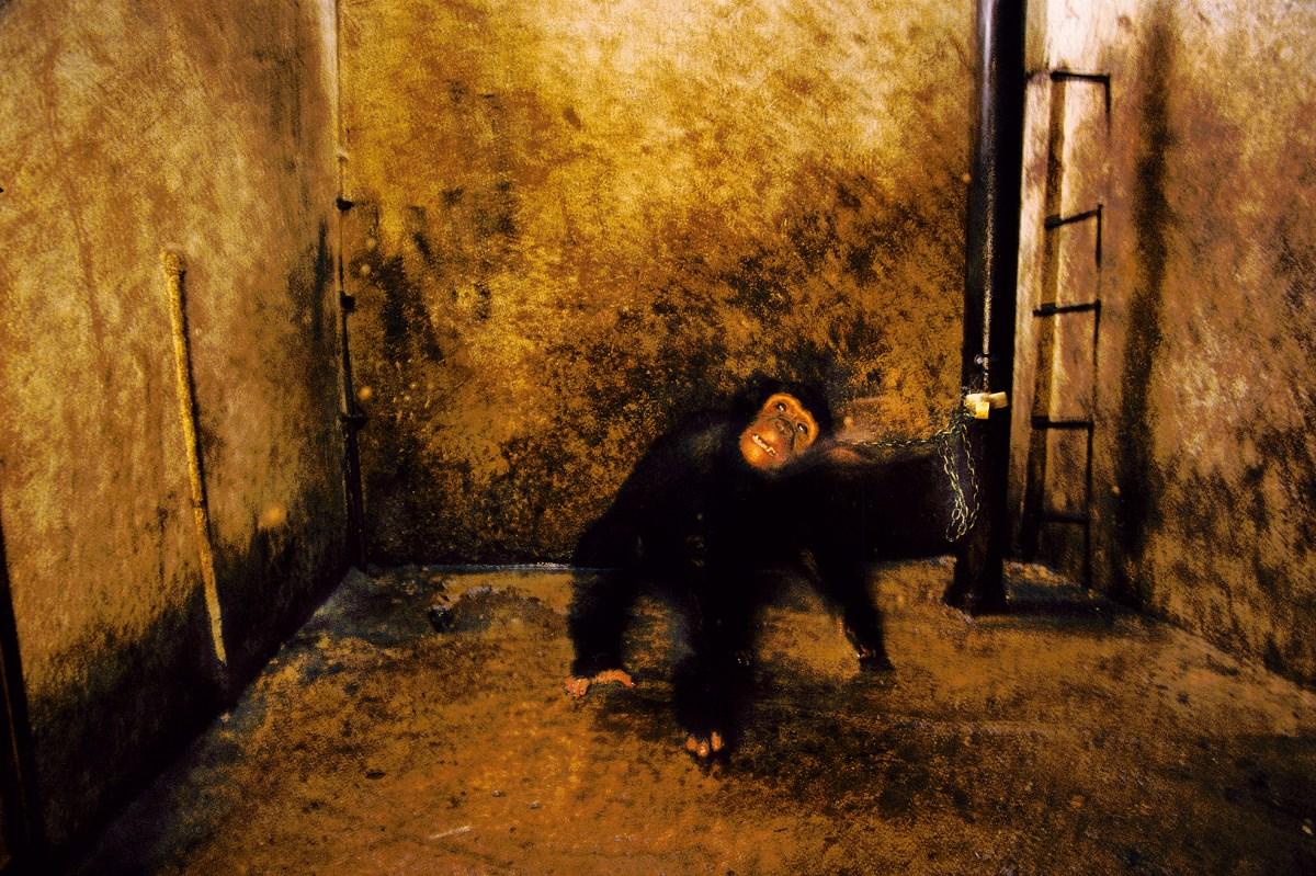 The chimpanzee Whiskey, chained in a garage, Bujumbura, Burundi, 1989.