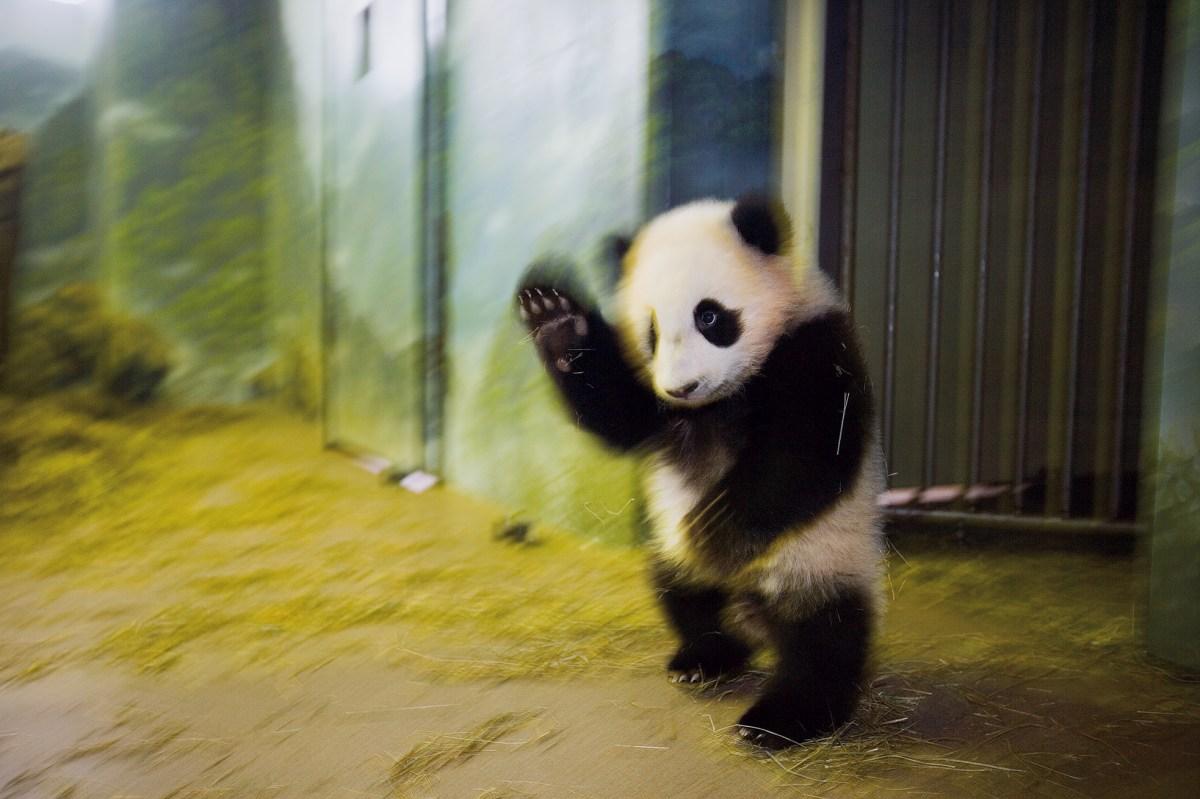 Giant panda, National Zoo, Washington, DC, 2006.