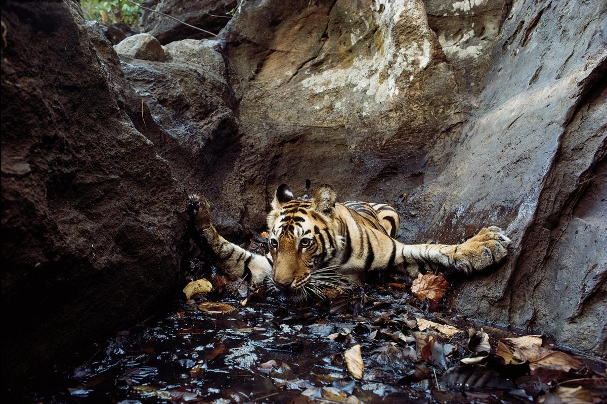 The tiger Bachhi (camera-trap photograph), Bandhavgarh. National Park, 1996.