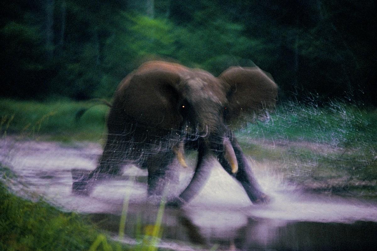 Charging elephant, Dzanga Bai, Central African Republic, 1993