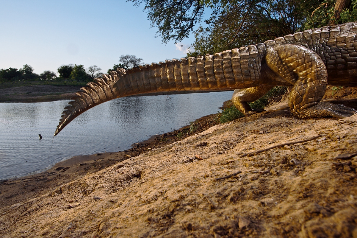 Crocodile (camera-trap photograph), Zakouma National Park, Chad, 2006.