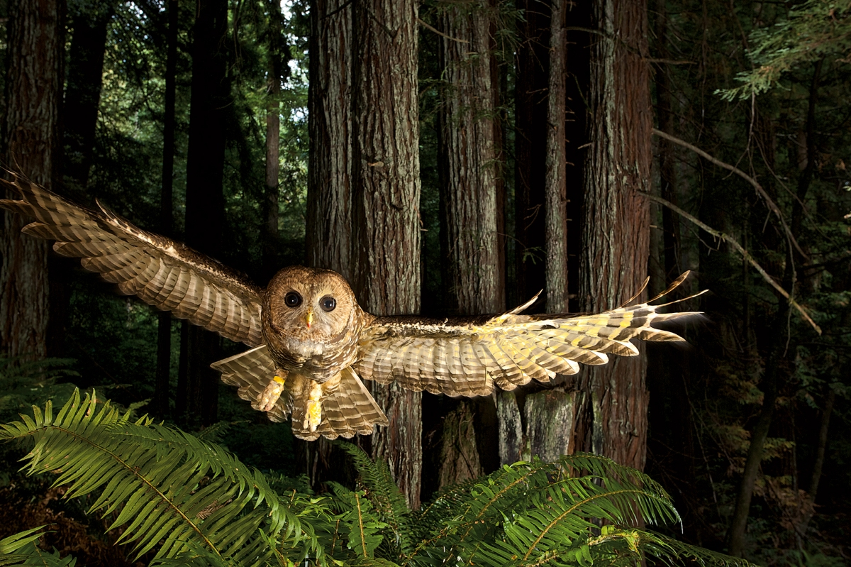 Northern spotted owl, Humboldt County, California, 2008.