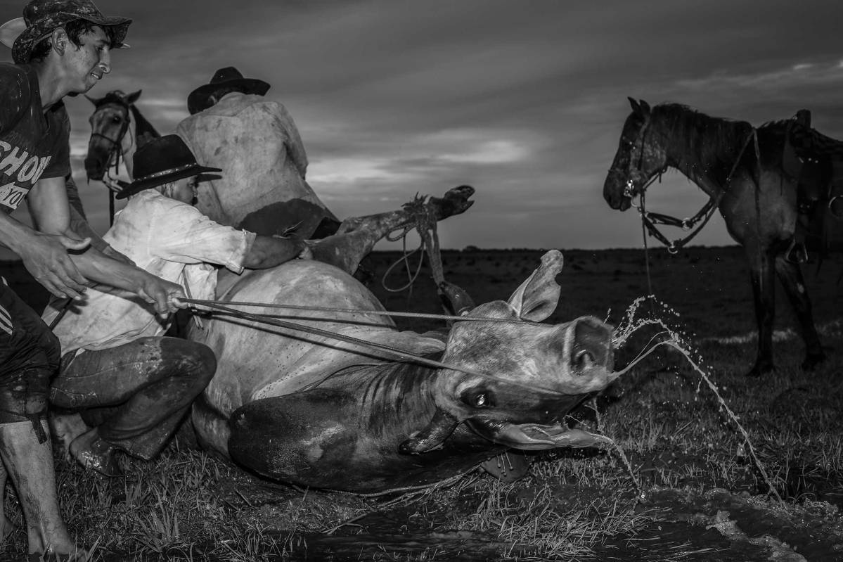 Llaneros prepare a horse to be tied during their search for wild cattle. This happens at dusk, when the animals are less aware. The wild cows and bulls can be quite dangerous and it takes great skill by the Llanero to capture them. Hato Santana, Casanare State, Orinoco Region, Colombia, 2015.
