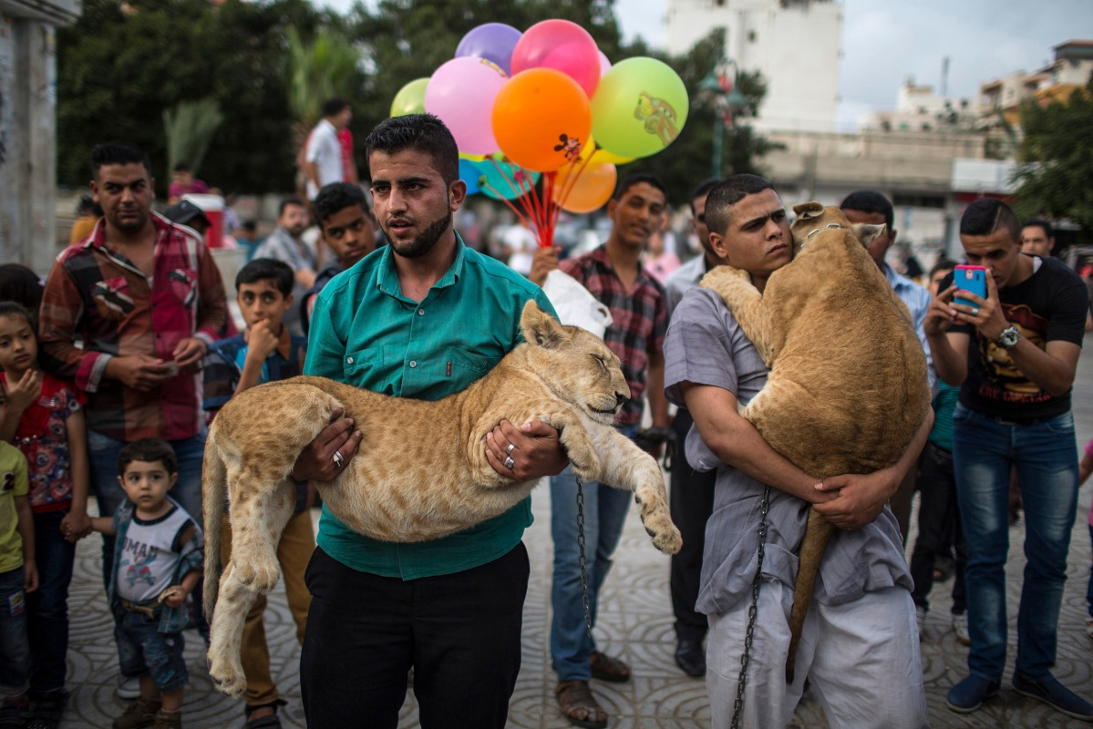 """Gazan citizens gathering around 2 Cubs """"Baby Lions"""" to take pictures with them for half a dollar at the """"Unknown Soldier"""" square mid of Gaza City.on May 28, 2015. BY Wissam Nassar."""