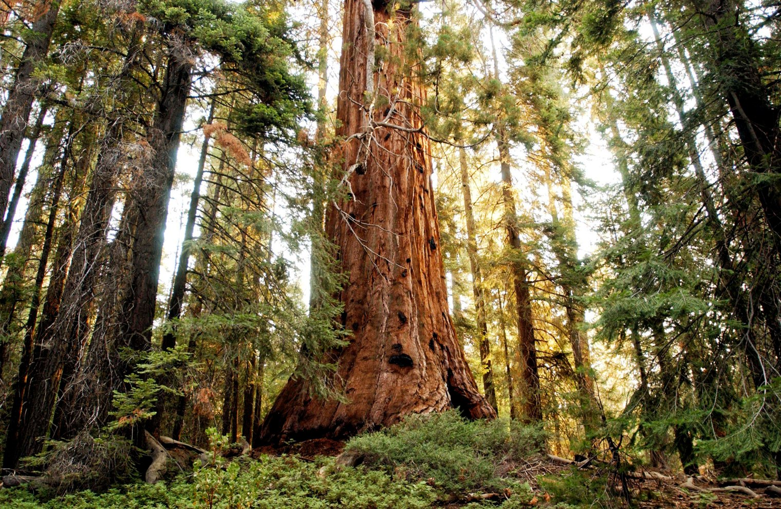 A sequoia tree, Trail of the 100 Giants, California.
