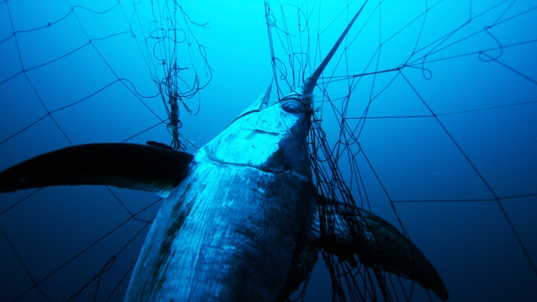 Almost 80% of the world's marine fish stocks are now fully exploited, overexploited or depleted
